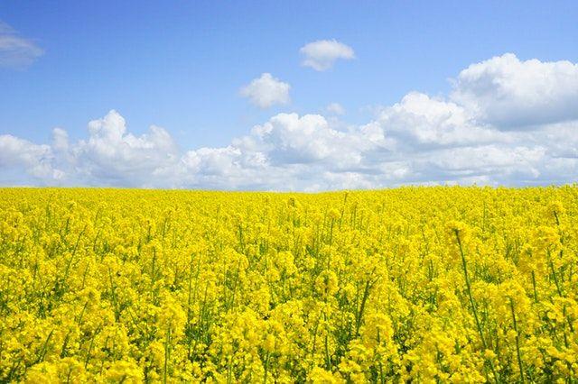 allergie-pollens-graminees