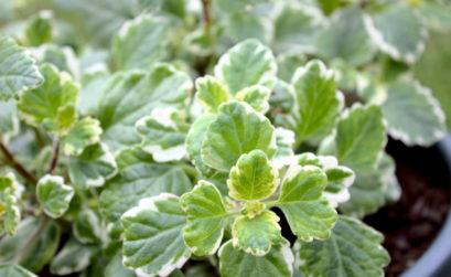 plante Boswellier