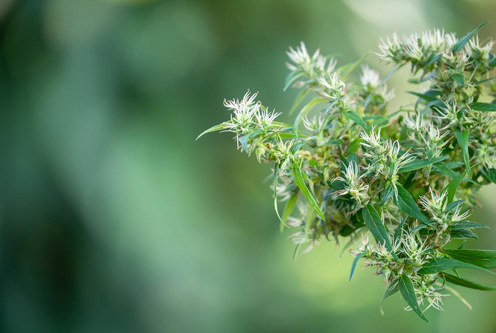 variétés fleur CBD
